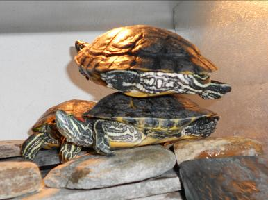 Kaplumbağalar hakkında ilginç bilgiler. Kaplumbağaların eşsiz yetenekleri